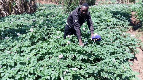 Jeremaya Maduka – a small farmer – works in his potato garden in Ntchisi, Malawi, an area which has been hit hard by drought and crop failures. In the past, Maduka used to sell nearly all of his production, leaving little for his family to eat.
