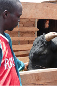 Burundi: revolving livestock scheme